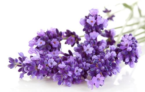 Lavendel-500